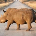 Kruger National Park Rhinoceros