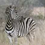 Kruger National Park Zebra